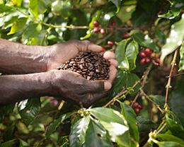 The traditions behind organic Mexican coffee